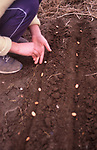 A913J4 Young girl planting seeds in vegetable garden