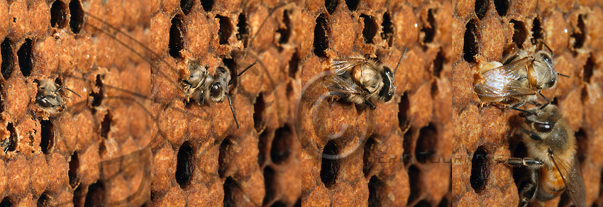 The birth of a bee rapidly unfolds. After having cut the cell cap with its mandibles then grated the edges to widen the opening, the young bee manages to free its front legs for support and extract the remainder of its body.