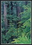 FB 260, Redwood Forest, 5x7 postcard