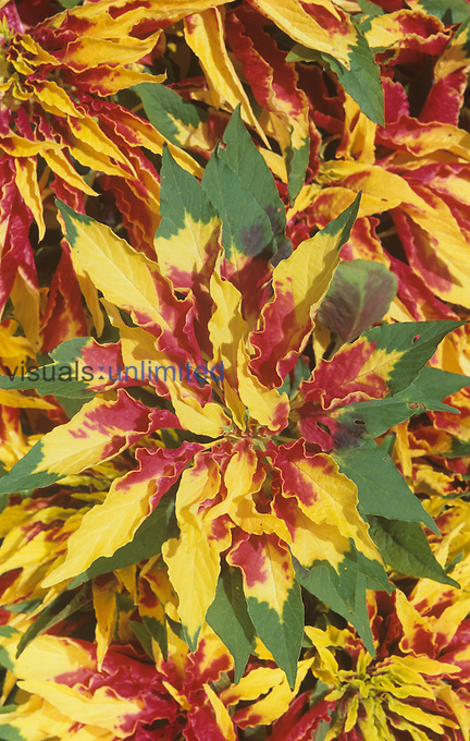 Joseph's Coat variegated leaves (Amaranthus tricolor).