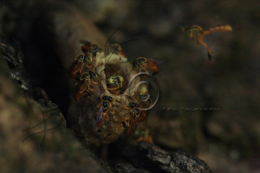 The entrance to a wild nest of the Tetragonisca angustula.///L'entrée d'un nid sauvage de Tetragonisca angustula..