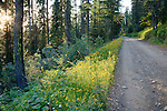 Idaho, North, Coeur d'Alene, Bayview. road lined with goldenrod high in the Coeur d'Alene Mountains of the Kaniksu National Forest in summer.