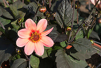 Dahlia Happy Single First Kiss, single pinkish salmon type with dark foliage