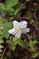 Rubus hirsutus, a Japanese wild raspberry, blooming on the slopes of Mount Takao in late April, Japan