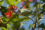 Wild (feral) Conure Green-cheeked Conure Pyrrhura molinae Southern California