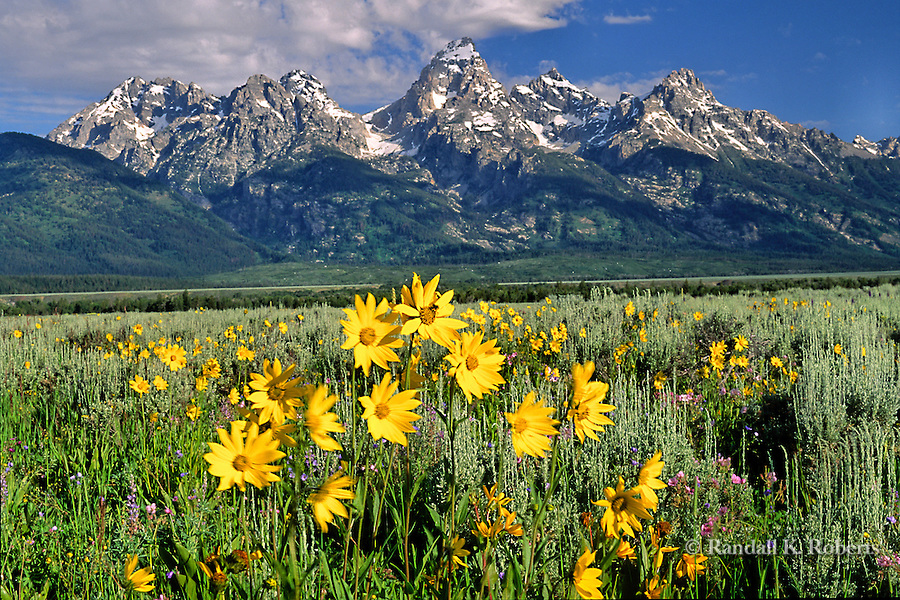 Sunflowers and Grand Tetons, Wyoming