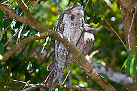 Papuan Frogmouth (male is darker smaller), Daintree River, Queensland, Australia