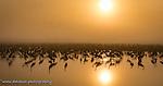 Wintering Cranes