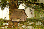 Birdhouse in blue spruce tree.