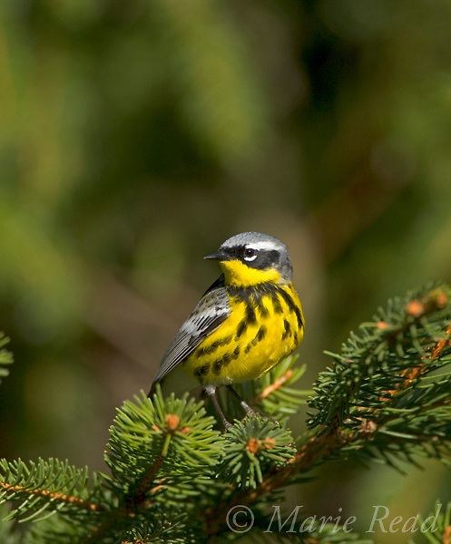 Magnolia Warbler (Dendroica magnolia) male, perched on spruce branch, New York, USA