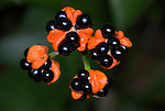 Eucharis cyanosperma, black berries, seeds, Iquitos, Peru, amazonian jungle, tropical, wild, herb, Amaryllidaceae family. .South America....