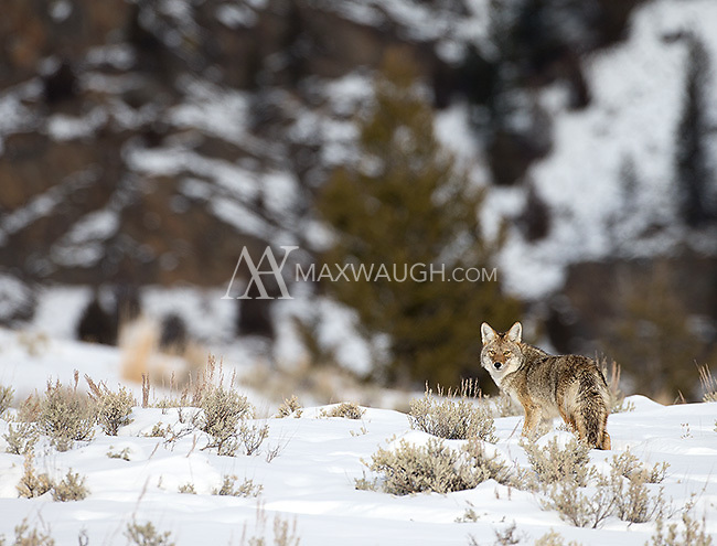 Coyotes are a common sight during Yellowstone's long winter.