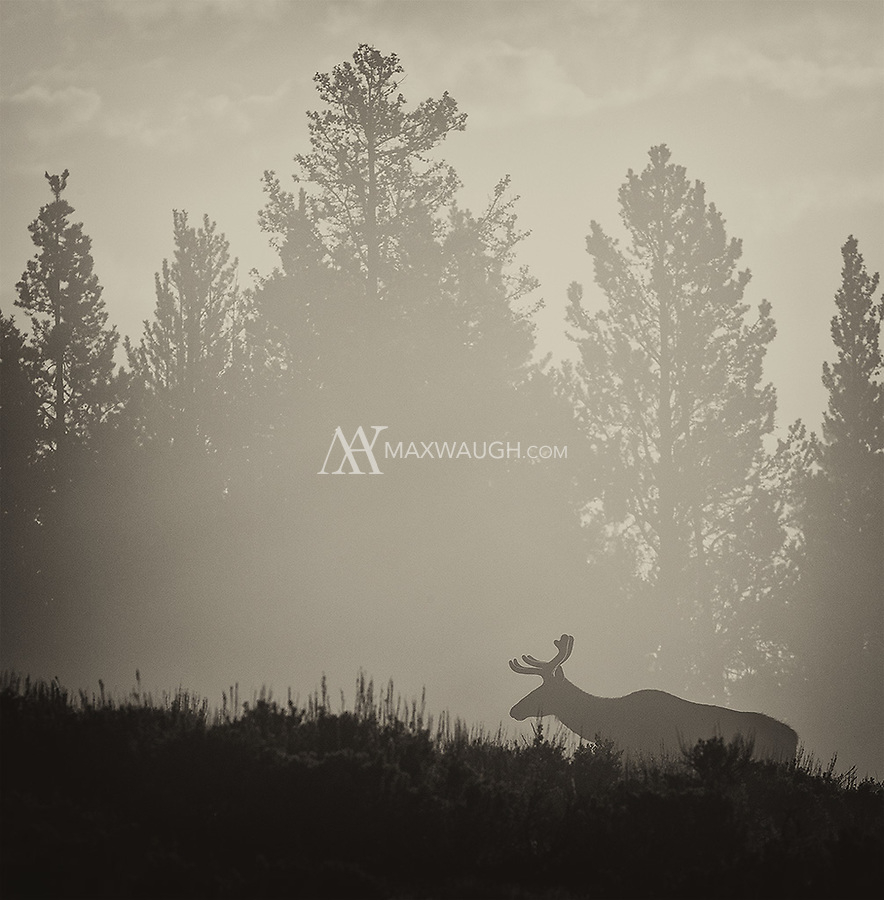 We were hoping to find a subject to photograph in the thick fog of Hayden Valley when this bull elk appeared out of the mist.