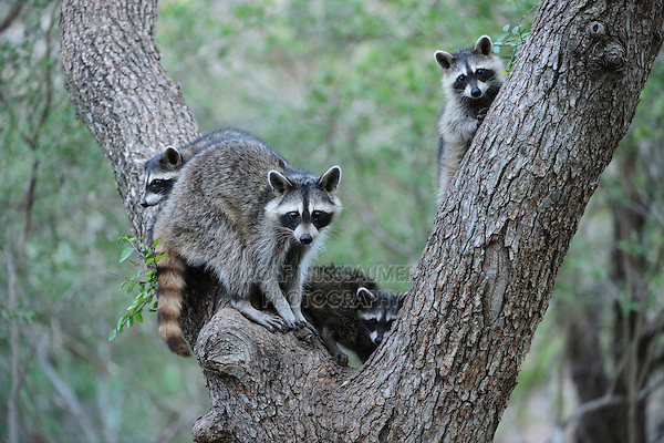 Northern Raccoon (Procyon lotor), mother and young climbing Cedar Elm (Ulmus crassifolia), New Braunfels, San Antonio, Hill Country, Central Texas, USA