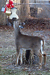 NAUGATUCK, CT-26 December 2013-122613TK01-A hungry visitor visits a Wedgewood Drive backyard in Naugatuck in search for any leftover backyard holiday snacks.. ( Tom Kabelka Republican-American)