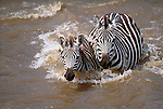 Grant's zebras crossing the Mara River, Masai Mara National Reserve, Kenya