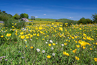 Buttercups and daisies in a grass meadow, Whitewell, Lancashire.