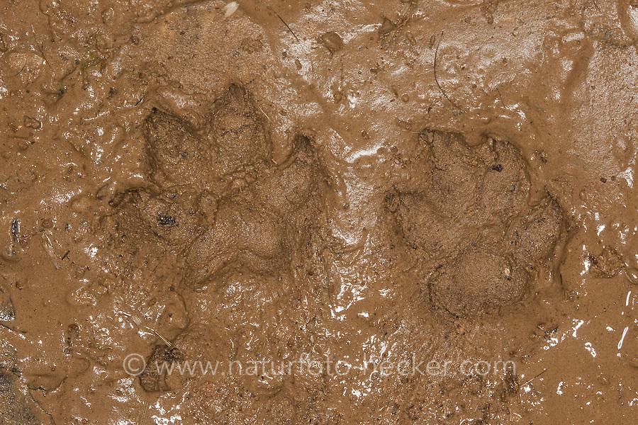 Marderhund, Marder-Hund, Seefuchs, Enok, Pfotenabdruck, Trittsiegel im Schlamm, Nyctereutes procyonoides, Raccoon dog, Chien viverrin