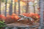 Gray wolf runs through fall foliage, Minnesota, USA