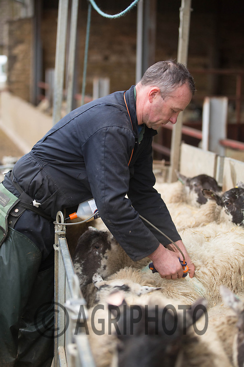 Shepherd injecting  Heptavac P Plus into in lamb ewes<br /> Picture Tim Scrivener 07850 303986