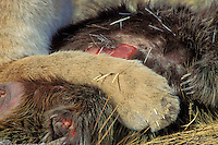 Mountain Lion or cougar (Puma concolor) paw with porcupine quills in its--hazard of hunting porcupines.  Western U.S.