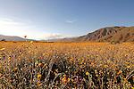 Desert Sunflowers Blooming in the Anza Borrego Desert of California