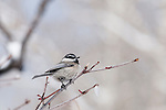 mountain chickadee, Poecile gambeli, in tree, winter, snow, bird, Rocky Mountain National Park, Colorado, USA