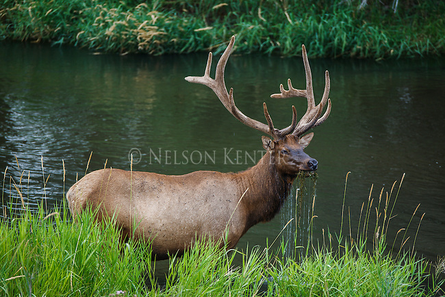 a bull elk feeding on plants growing under water in a creek in Montana