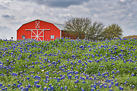 We took a little road trip to Brenham Texas and found this Red Barn and bluebonnets field off of Chappel Hill next to the Baptist church.  The sky was a bit moody so we thought it would be worth an attempt to capture a wildflower scene.  We captured this red barn with this field of bluebonnets in front.  In any case it was still a good capture of Texas wildflowers for the day. Bluebonnets are alway a plus when you can find a good field like this in spring.
