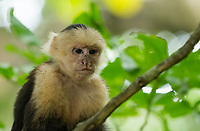 White-faced Capuchin, Cebus capucinus, on a branch in Manuel Antonio National Park, Costa Rica