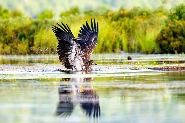 After watching the parent this immature eagle plunges into the water after a pretend fish.