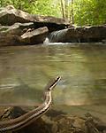 Queen Snake Half Underwater