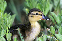 Cute juvenile Mallard duckling, Anas platyrhynchos, a dabbling duck, standing in the shallows of the pond, Missouri USA
