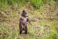 Spring bear cub stands alert in Katmai National Park, Alaska.