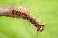 Gypsy Moth (Lymantria dispar) caterpillar (larva), Ward Pound Ridge Reservation, Cross River, Westchester County, New York