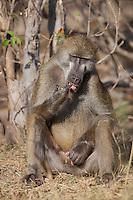 Dirty Baboon