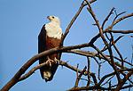 An African fish-eagle, Okavango River, Botswana