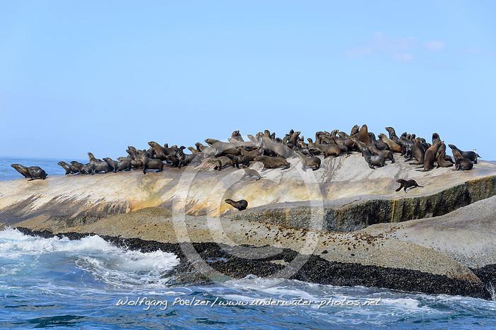 Arctocephalus pusillus, Suedafrikanicher Seebaer, Seebaeren auf Felsstein, South African fur seal, Seals on cliff, South African fur seal, False Bay, Simons Town, Suedafrika, Indischer Ocean, False bay, Simons Town, South Africa, Indian Ocean