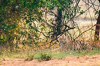 Bengal tiger, Panthera tigris tigris, resting under trees, Tadoba Andhari Tiger Reserve, Tadoba Andhari National Park, Chandrapur, Maharashtra, India