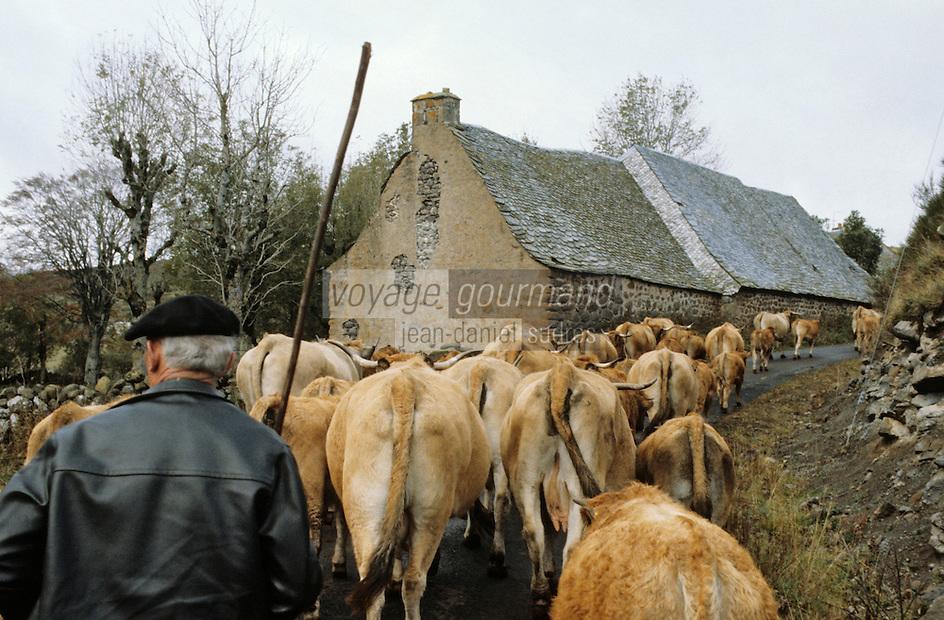 Europe/France/Auvergne/12/Aveyron: Aubrac - Départ du troupeau pour la transhumance sur la route des burons