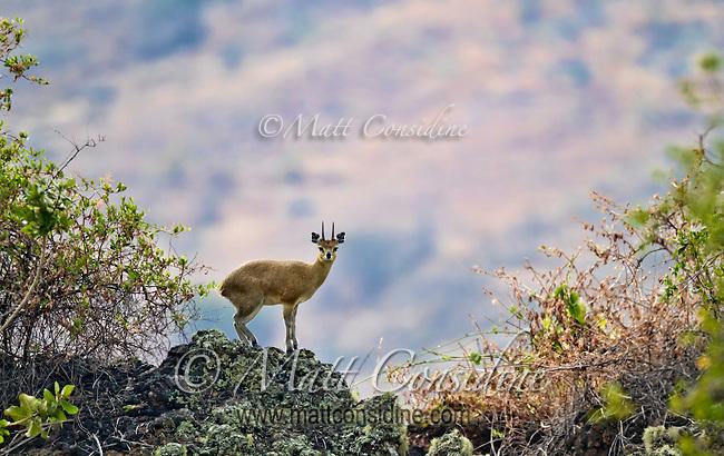 Klipspringer antelope balancing on a rock in a mountain habitat in Kenya, Africa (photo by Wildlife Photographer Matt Considine)