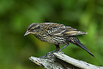 Immature red-winged blackbird