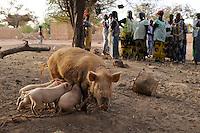 BURKINA FASO Kaya, diocese bank gives micro loan for income generation, women keeping pigs for breeding /  BURKINA FASO Kaya, Bank der Dioezese Kaya vergibt Mikrokredite fuer Kleinunternehmer zur Einkommensfoerderung, Kreditgruppe<br /> Im Dorf PISSILA, Schweinezucht
