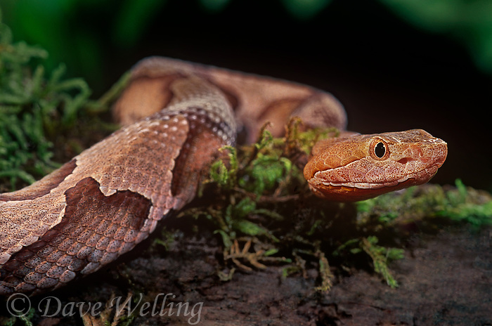 414414008 a captive northern copperhead agkistrodon contortrix lays coiled on a sphagnum covered log - species is native to the eastern and southeastern united states