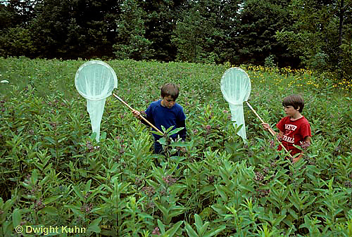 FA27-096z  Milkweed - boys catching monarch butterflies in milkweed patch - Asclepias syriaca