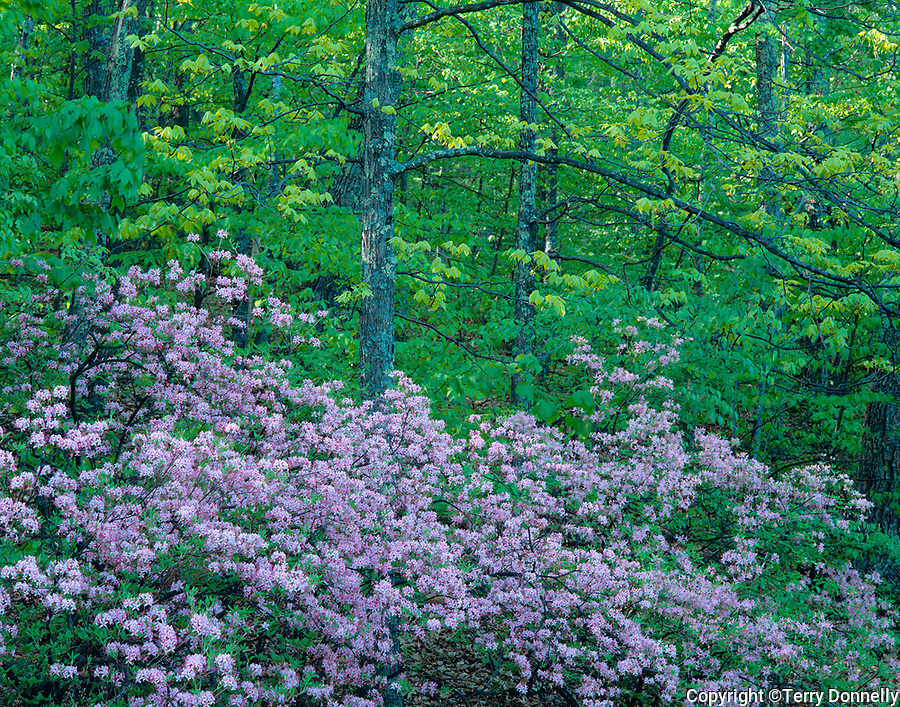 Blue Ridge Parkway, VA<br /> Pink azaleas (Rhododenderon nudiflorum) in an understory of a spring hardwood forest