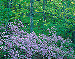 Blue Ridge Parkway, VA<br /> Pink azaleas (Rhododenderon nudiflorum) in an understory of a spring hardwood forest