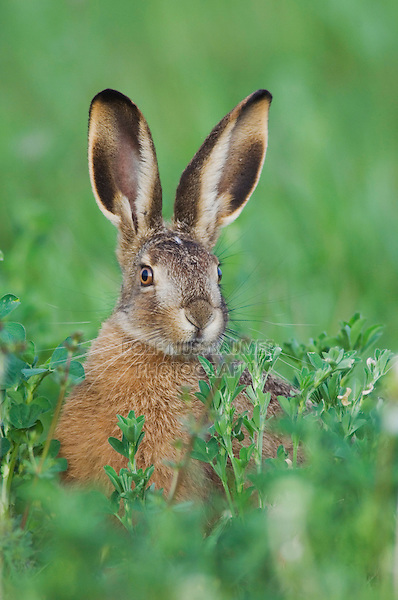 Brown Hare, Lepus europaeus, young eating,National Park Lake Neusiedl, Burgenland, Austria, Europe