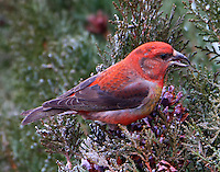 Adult male red crossbill. Note the yellow on the breast of this bird and the white on the side. A different color phase?
