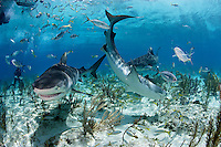 pk11547-D. Tiger Sharks (Galeocerdo cuvier). Bahamas, Atlantic Ocean..Photo Copyright © Brandon Cole. All rights reserved worldwide.  www.brandoncole.com..This photo is NOT free. It is NOT in the public domain. This photo is a Copyrighted Work, registered with the US Copyright Office. .Rights to reproduction of photograph granted only upon payment in full of agreed upon licensing fee. Any use of this photo prior to such payment is an infringement of copyright and punishable by fines up to  $150,000 USD...Brandon Cole.MARINE PHOTOGRAPHY.http://www.brandoncole.com.email: brandoncole@msn.com.4917 N. Boeing Rd..Spokane Valley, WA  99206  USA.tel: 509-535-3489